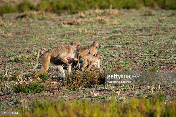 Yellow baboon mother is carrying her baby in South Luangwa National Park in eastern Zambia