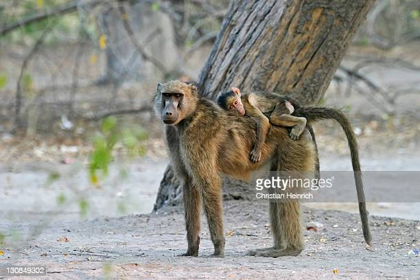 Yellow Baboon (Papio cynocephalus) mother with baby on her back, Moremi Nationalpark, Moremi Wildlife Reserve, Okavango Delta, Botswana, Africa