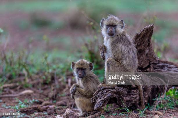 yellow baboons sitting on a fallen tree in amboseli national park. - cute animal stock pictures, royalty-free photos & images