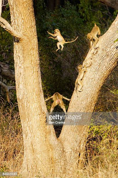 Yellow baboons, South Luangwa NP, Zambia