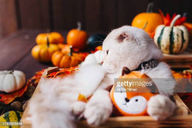 a yellow baby british shorthair kitty with halloween pumpkins at brown autumn background - ali cat fotografías e imágenes de stock