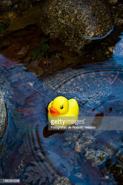 Yellow bath duck floating in pond