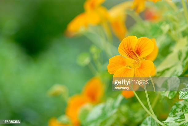 yellow bean flowers in blossom - nasturtium stock pictures, royalty-free photos & images
