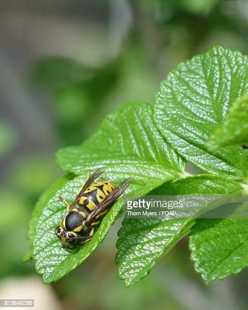 Yellow bee on green leaf