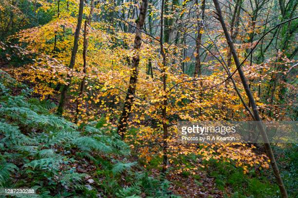 yellow beech tree foliage in autumn - season stock pictures, royalty-free photos & images