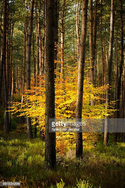 """yellow beech tree in a dark forest - """"sjoerd van der wal"""" stock pictures, royalty-free photos & images"""