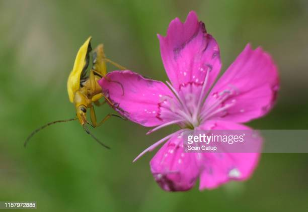 A yellow beetle clings to Carthusian Pink at a new urban green space at the Freie Scholle housing estate in Reinickendorf district on June 21 2019 in...