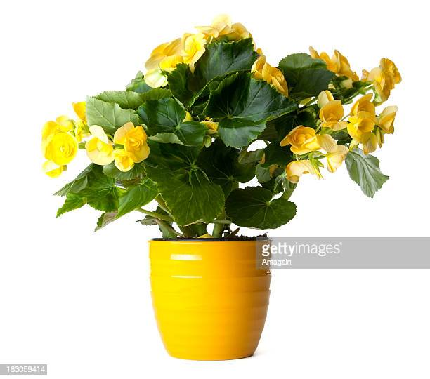 yellow begonia - pot plant stock pictures, royalty-free photos & images