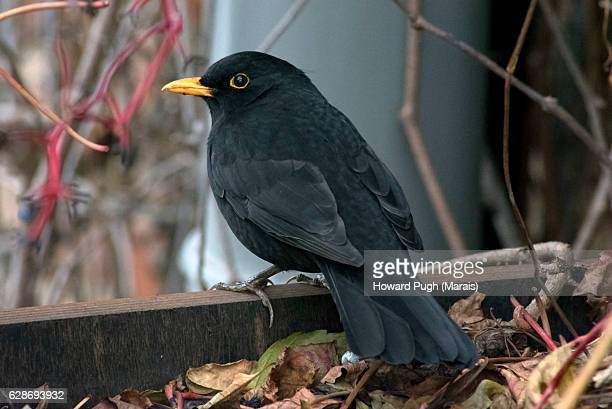 yellow billed black thrush - merel stockfoto's en -beelden