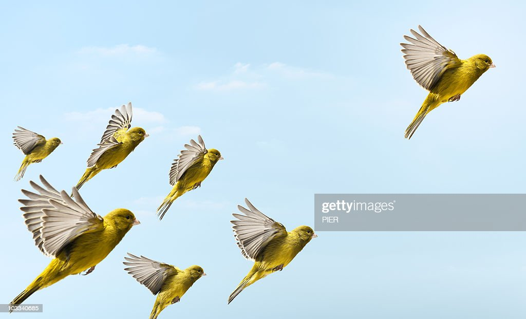 Yellow bird flying in-front and higher than others : Stock-Foto