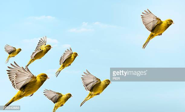 yellow bird flying in-front and higher than others - vogel stock-fotos und bilder