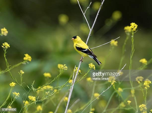 Yellow Bird in Yellow Flowers