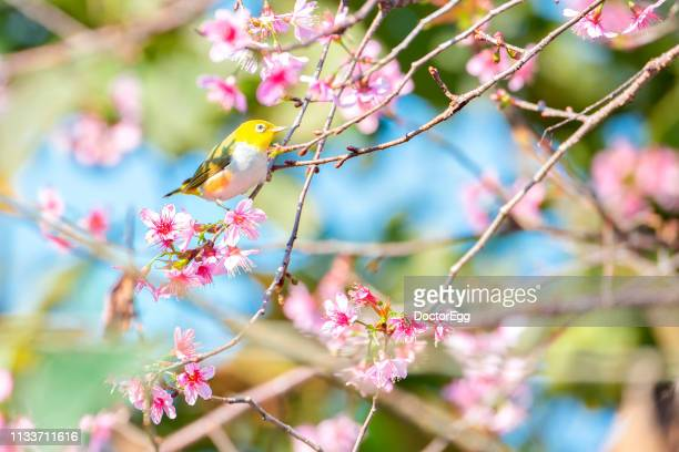 yellow bird on sakura branches in spring, tokyo, japan - 自生 ストックフォトと画像