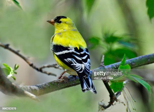 yellow bird - songbird stock pictures, royalty-free photos & images