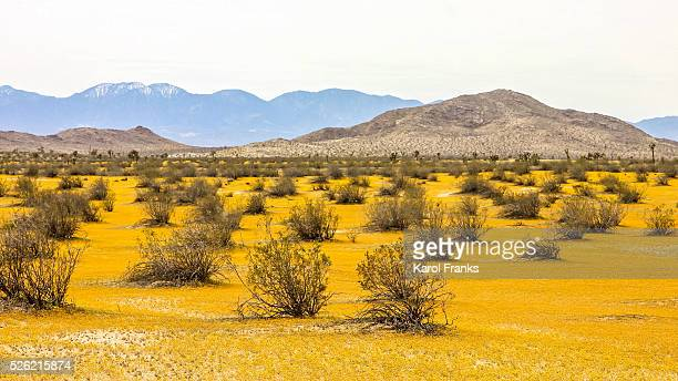 Yellow blanket of tiny wildflowers in the desert