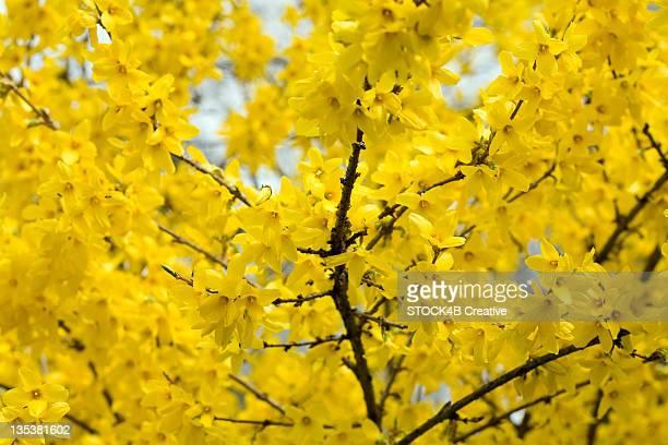 Yellow blooming Forsythia