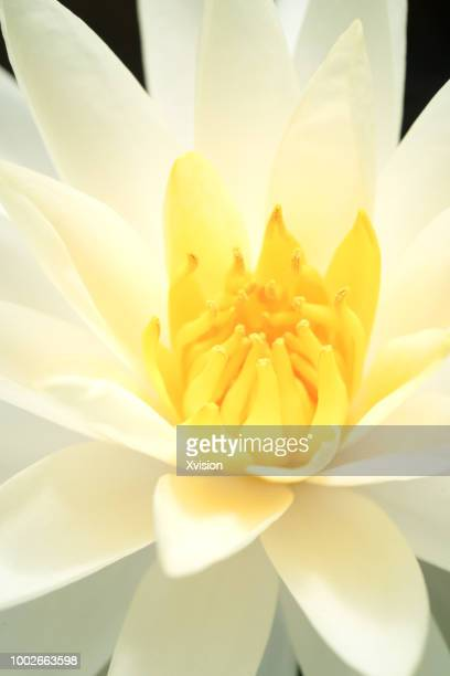yellow blooming water lily