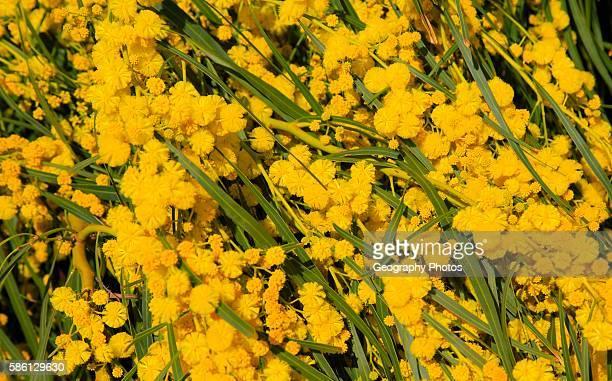 Yellow blossom of Mimosa tree acacia dealbata Cabo de Gata natural park Almeria Spain