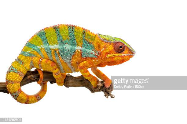 yellow blue lizard panther chameleon - east african chameleon stock pictures, royalty-free photos & images