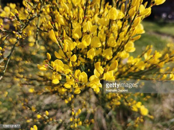 yellow broom flowers - charleroi stock pictures, royalty-free photos & images