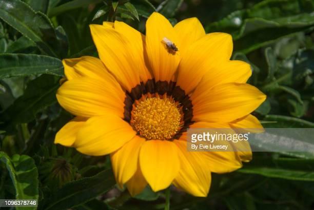 Yellow & Brown Gazania