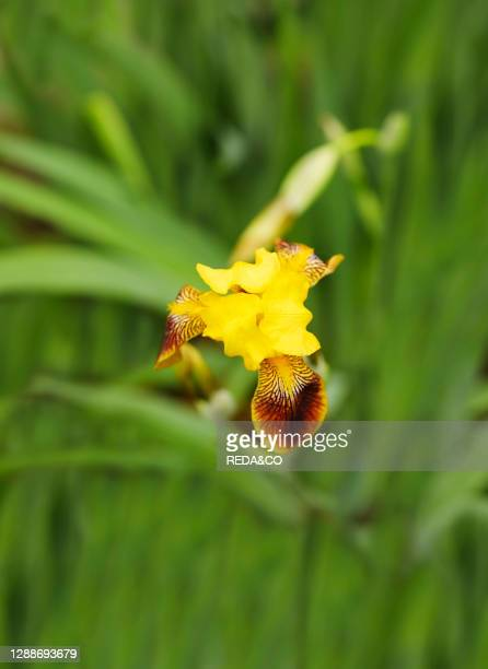 Yellow brown iris flowers in bloom in the garden in summer time. Macro photo of iris flower. Summer nature background with blossom flower, copy...