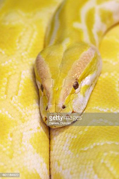 yellow burmese python close-up - yellow burmese python stock pictures, royalty-free photos & images