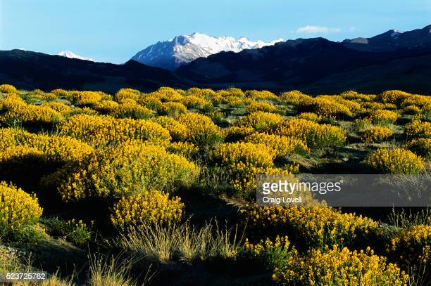Yellow Bushes in Argentina