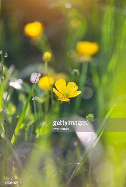 yellow buttercup blossoms. - buttercup stock pictures, royalty-free photos & images