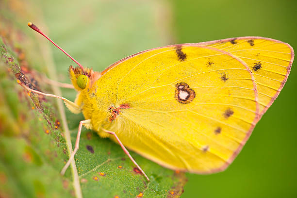A Yellow Butterfly In A Leaf; Dundee Ohio United States Of America