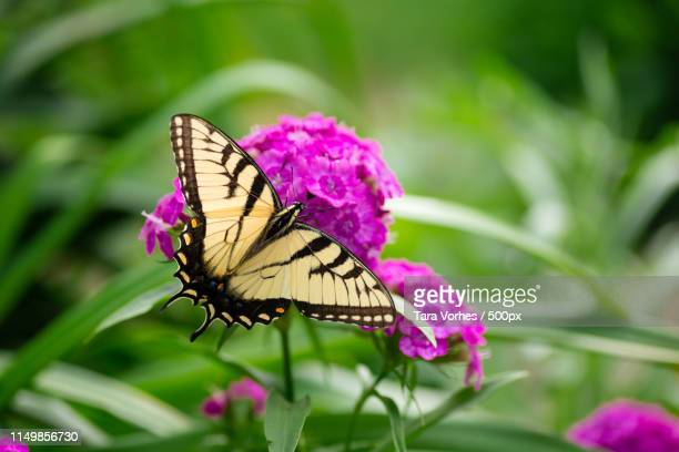 yellow butterfly in garden - swallowtail butterfly stock pictures, royalty-free photos & images
