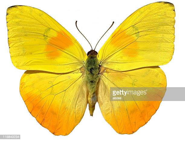 Yellow Butterfly isloated on white