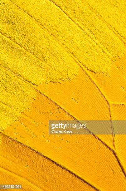 Yellow butterfly wing in close-up