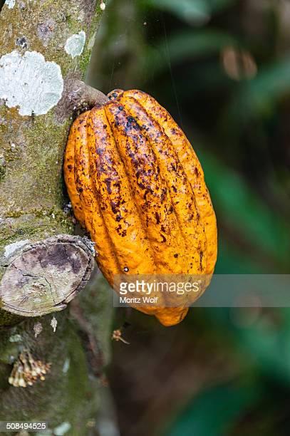 yellow cacao fruit -theobroma cacao-, kumily, kerala, india - theobroma stock photos and pictures