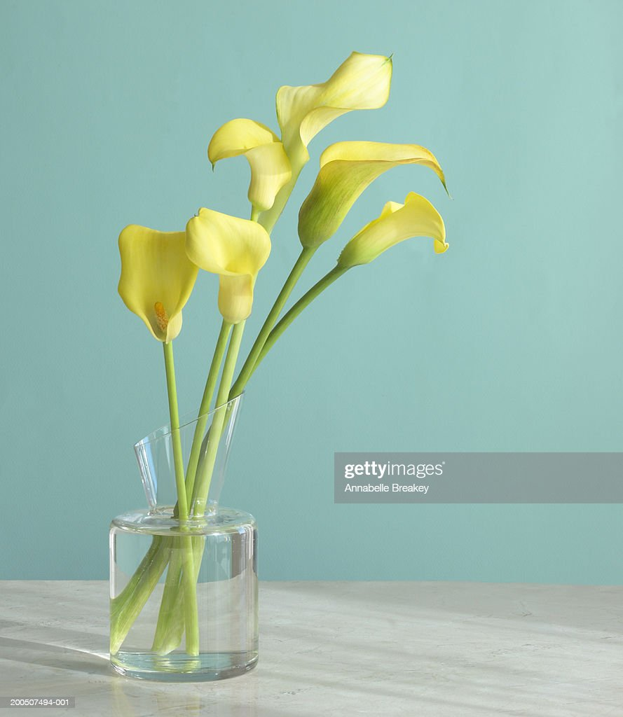 Yellow calla lilies in glass vase with blue background stock photo yellow calla lilies in glass vase with blue background stock photo reviewsmspy