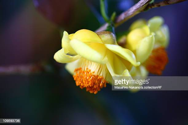 yellow camellia flowers - chofu stock pictures, royalty-free photos & images