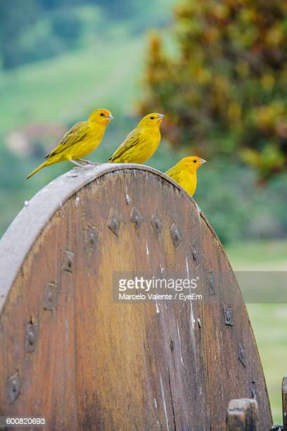Yellow Canaries Perching On Wooden Wheel