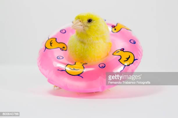 Yellow canary bird with a float vacation on the beach or by the pool