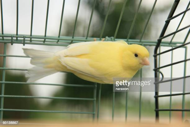 Yellow canary in birdcage