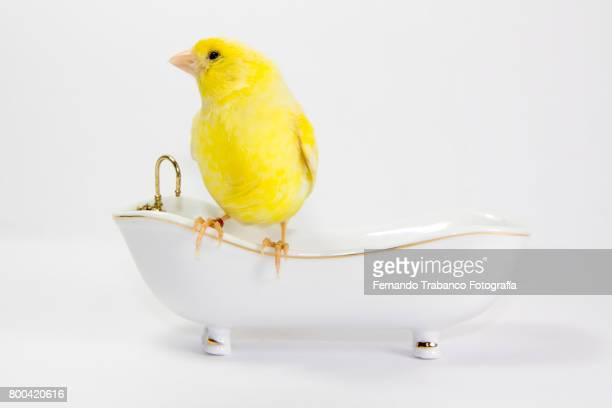 Yellow canary taking a bath in the bathtub