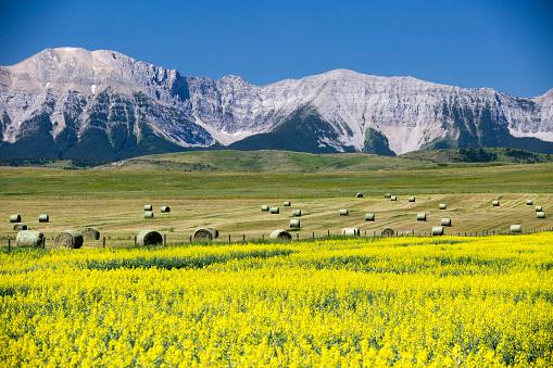 Yellow Canola Field In Bloom 1024156560