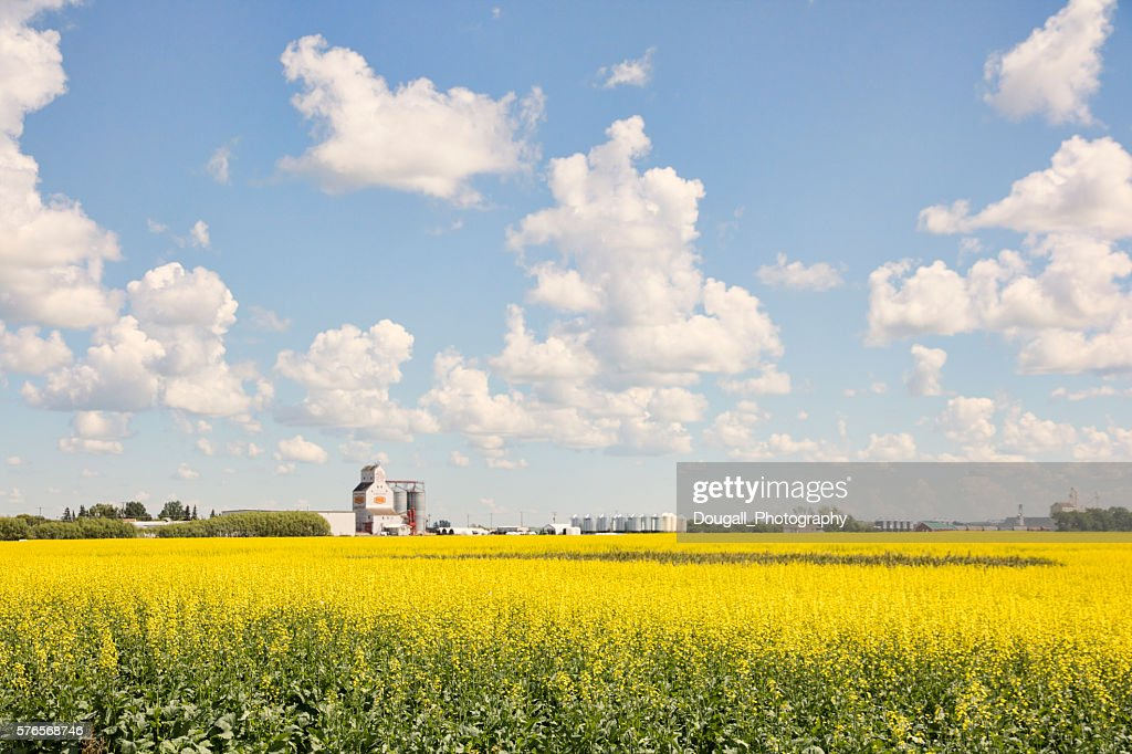 Yellow Canola Field with Grain Elevator in Background : Stock Photo