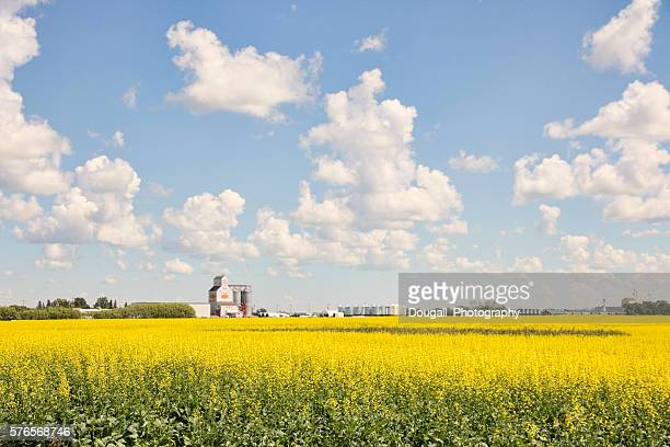 Yellow Canola Field with Grain Elevator in Background