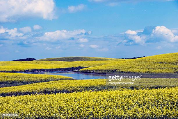 Yellow Canola (Rapeseed) Fields