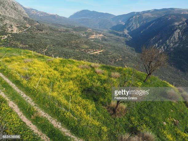 Yellow Canola Flowers, Delphi, Greece