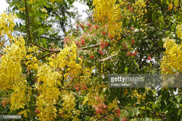 Yellow cassia fistula or golden shower tree is pictured on April 7 2019 in Kataragama located about 230 km southeast of Colombo in Sri Lanka nn