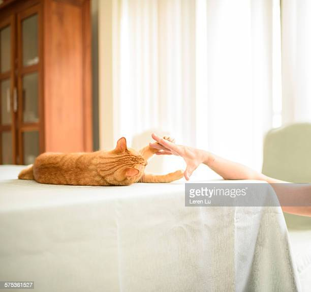 Yellow cat playing with human fingers