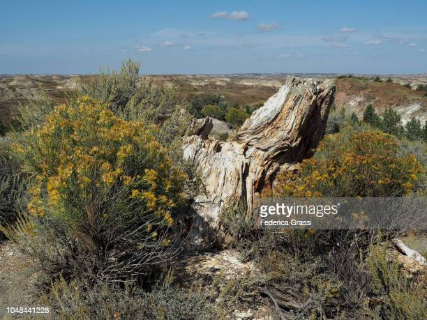 yellow chamisa flowering near petrified wood at theodore roosevelt national park petrified forest - petrified wood stock pictures, royalty-free photos & images