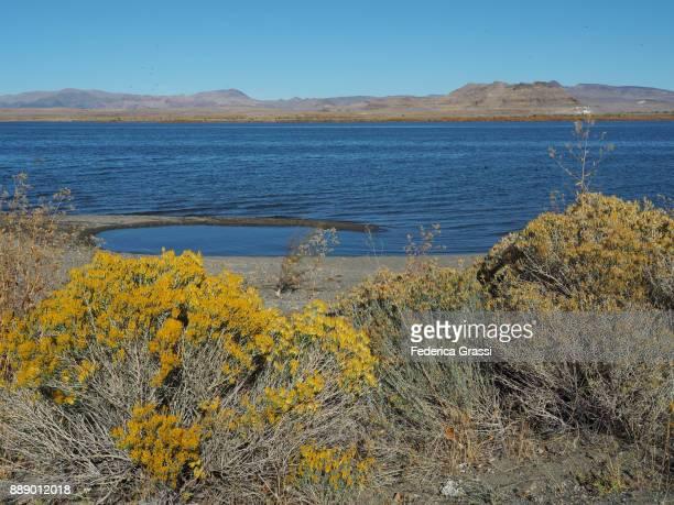 Yellow Chamisa Flowers Along Pyramid Lake, Nevada