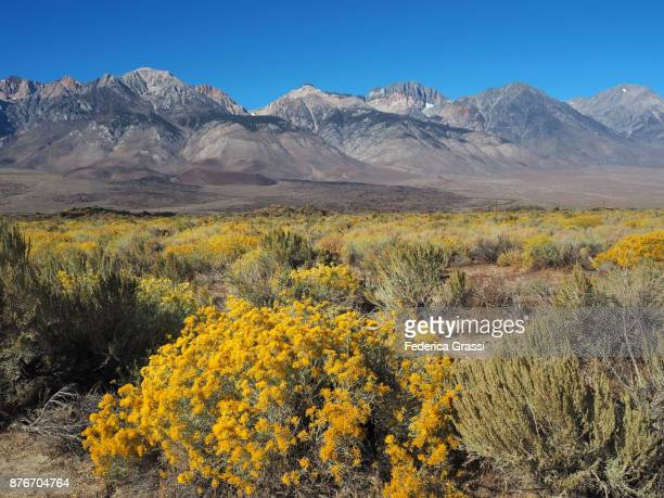 Yellow Chamisa Flowers And Black Volcanic Rock